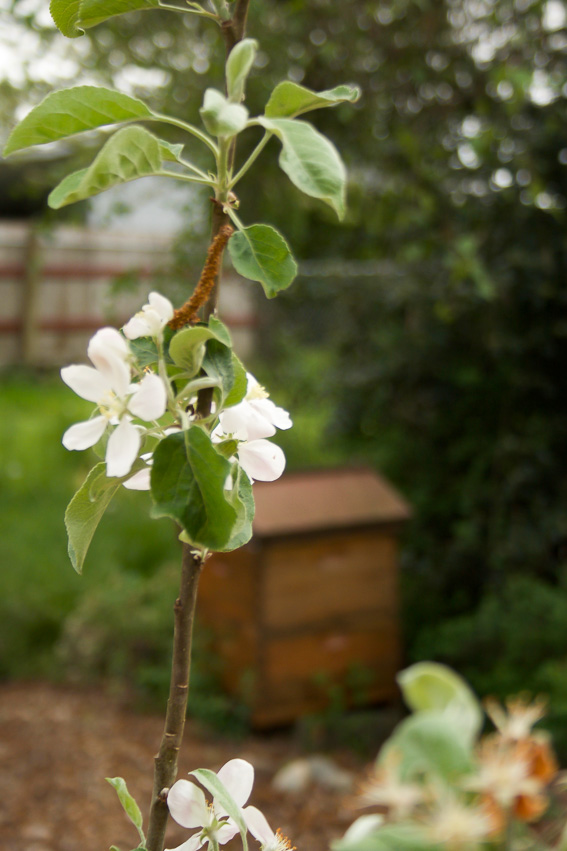 apple blossom with stained langstroth beehive in background