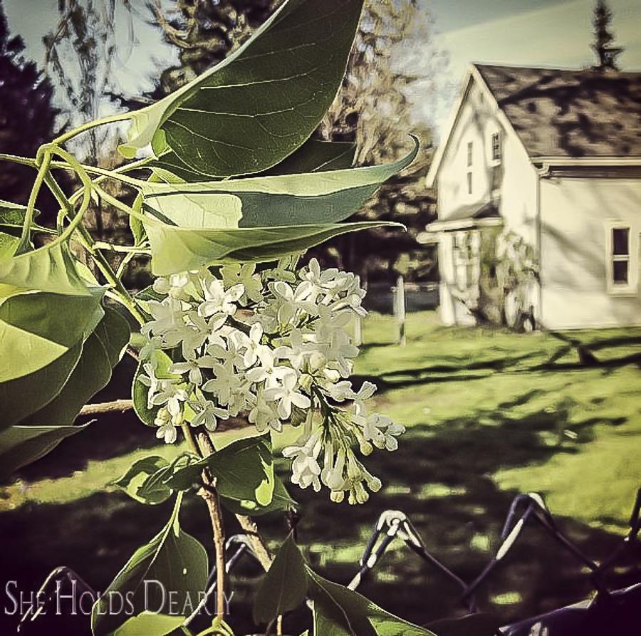 Farmhouse White Lilacs by sheholdsdearly.com