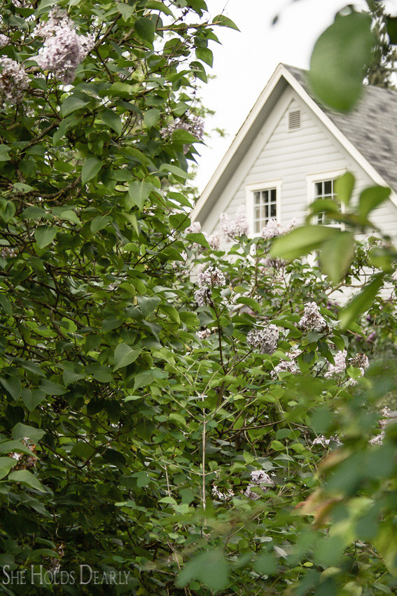 Prevent Wilting in Lilacs by sheholdsdearly.com