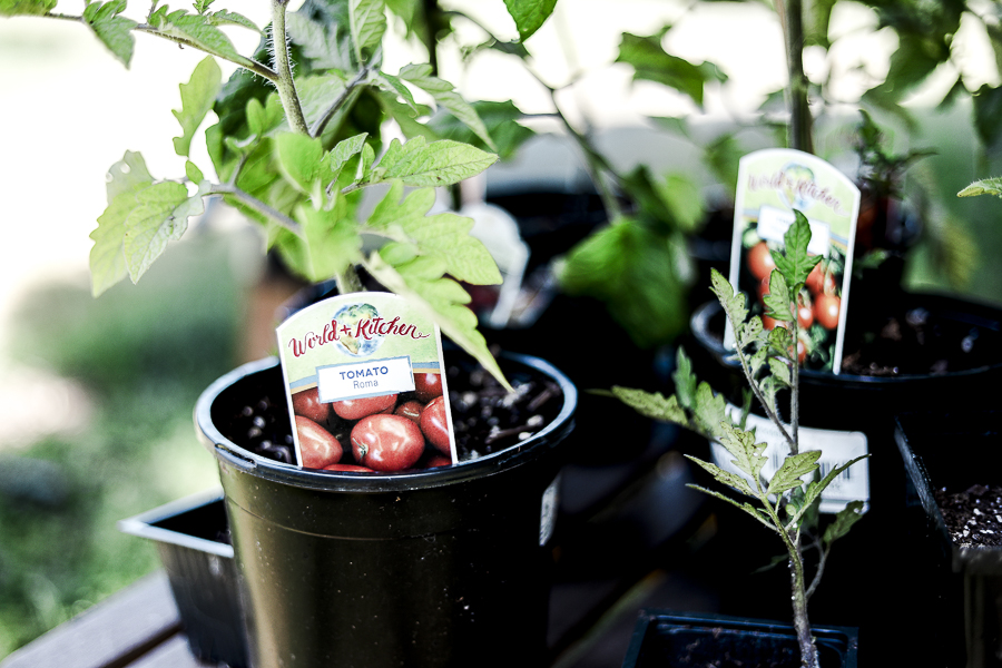 Grow Healthy Tomatoes by sheholdsdearly.com