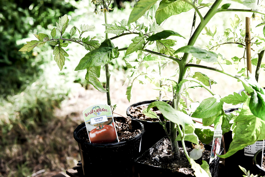 Tips for Growing Tomatoes by sheholdsdearly.com